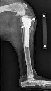 Mon chien boite et souffre d'une patte arrière : causes, symptômes, traitements (ligament croisé)