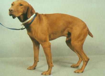 Syndrome de la queue de cheval chez le chien et le chat