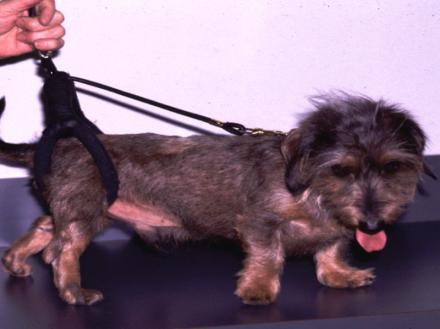 Mon chien a une hernie discale : cause, traitements, prévention