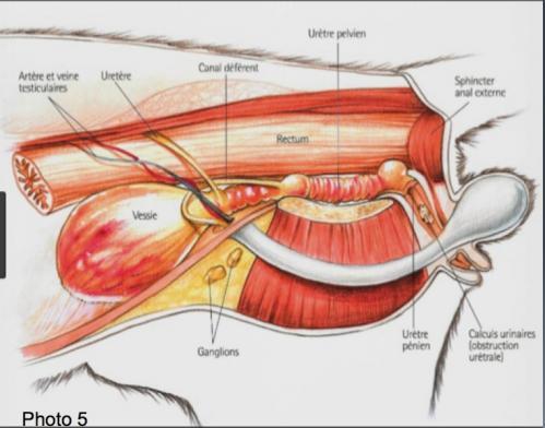 schéma de l'appareil urinaire d'un chat