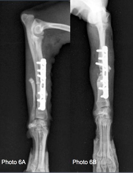 radiographies postopératoires   du chien de la photo 5 témoignant du bon alignement du membre